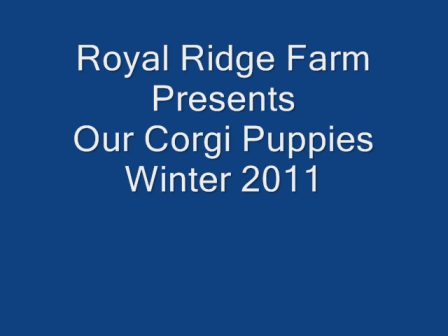 Corgi Winter Video_0001
