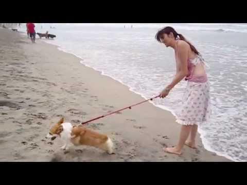 Corgi's Experience at the Beach