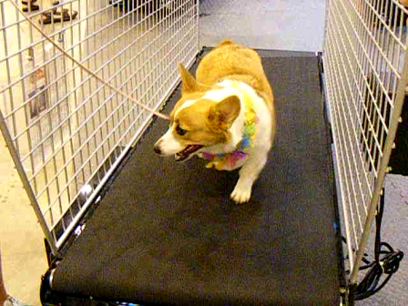 Daisy on the treadmill at dog show!