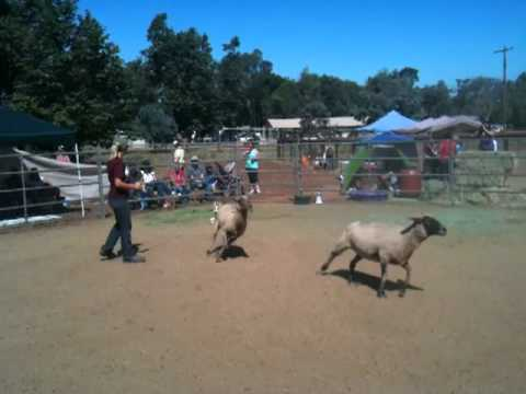 Luna Herding Sheep