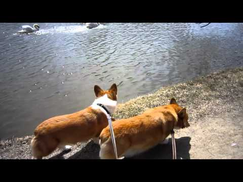 Corgis with swans in early spring in Stratford 09Apr11.MOV