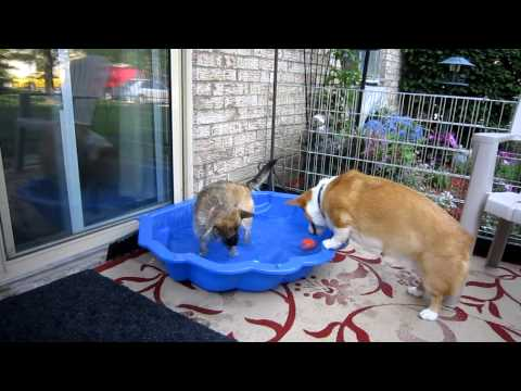 A day at the pool with Corgi Jake & his friend Coco 31May11.MOV
