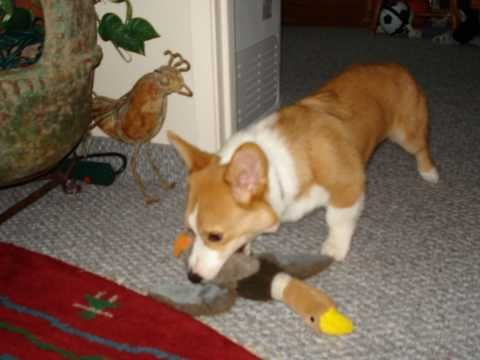 Corgi Jake & his best friend Coco during their first year together