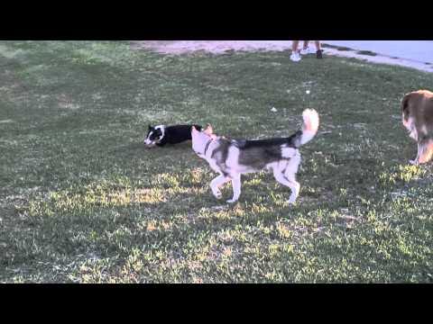 Kiba and Fenris at the Bark Park in Yuma, AZ