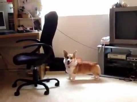 Yuki the Corgi Puppy Meets Printer Noise (Corgi - 1 year old)