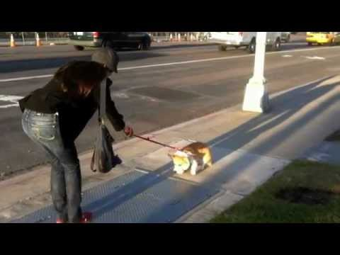 Yuki the Corgi Puppy Meets Scary Metal Grate (Corgi - 1 year old)