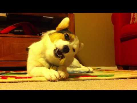 Corgi chews rawhide