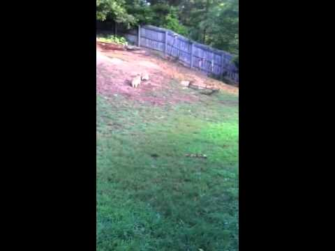 Corgis chasing each other