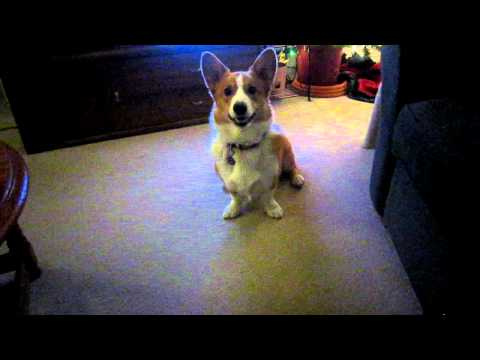 Corgi Jake wants to play fetch 12Dec11.MOV