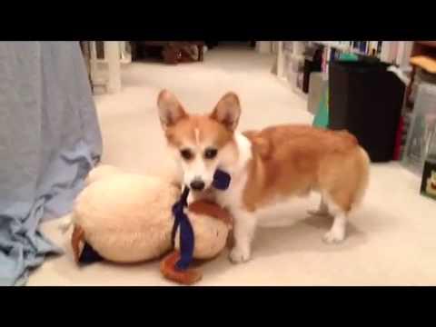 Corgi Won't Fetch Without Favorite Toy (Corgi - 1 year old)