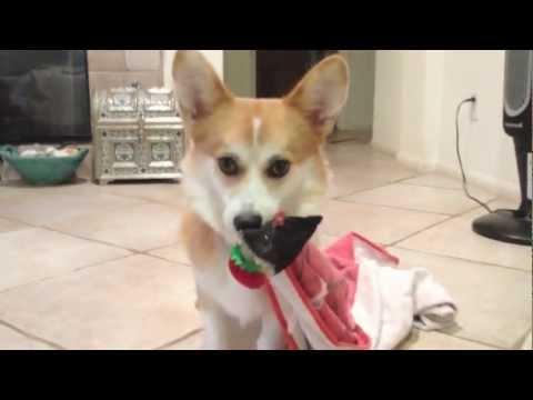 Yuki the Corgi Puppy Wishes You a Charlie Brown Christmas