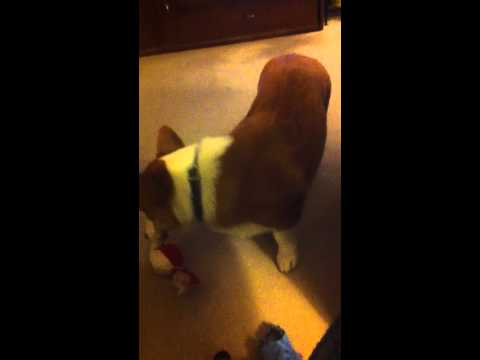 Corgi Jake killing his ball.MOV
