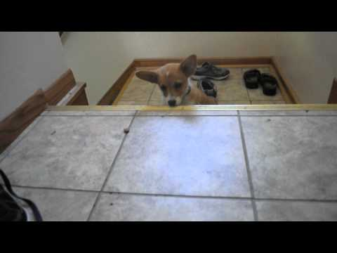 Saber goes up the stairs a second time and plays with a treat.AVI
