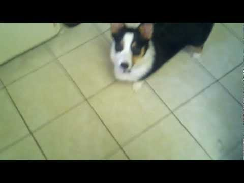Kato the Welsh Corgi Puppy Learns to Catch