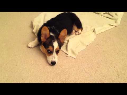 Miles, toweling off 'Corgi's way'