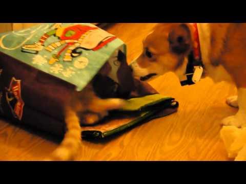 Corgi & Kitty Playtime