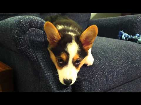 Miles the corgi pup learns to settle down
