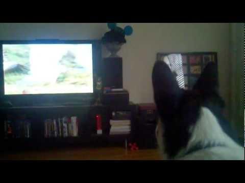 Kato the Welsh Corgi Watches Planet Earth