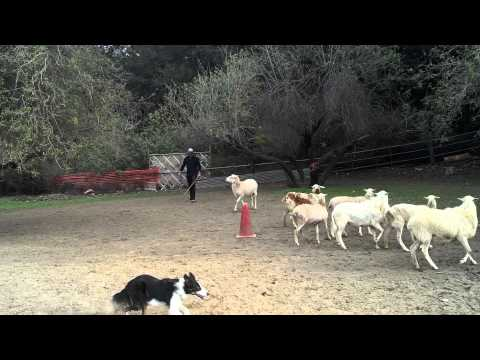 Luffy's first time sheep herding