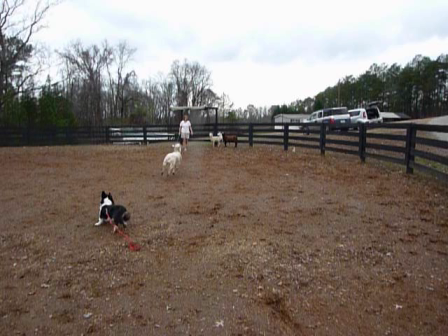 Bogart's first sheep herding experience, at The Canine Ranch in Canton, GA