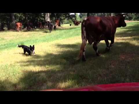 Gracie the Herding Corgi