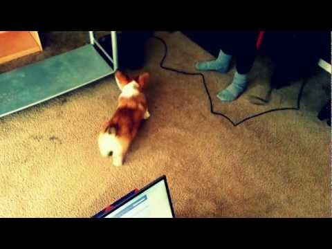 Corgi vs. Vacuum