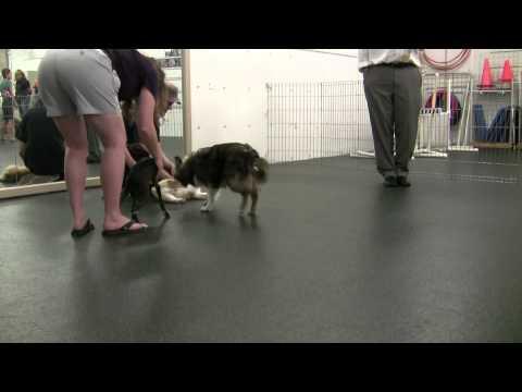 Corgi Puppy Socialization Class