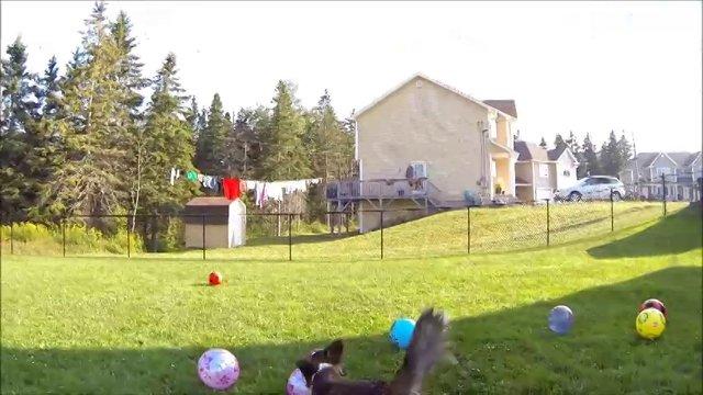 Wally Corgi - Finding Balls  (22 months of age)