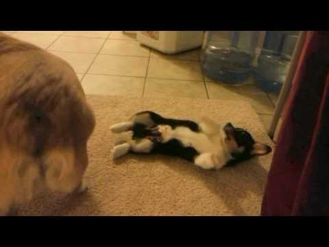 This Is How Corgis Fight!