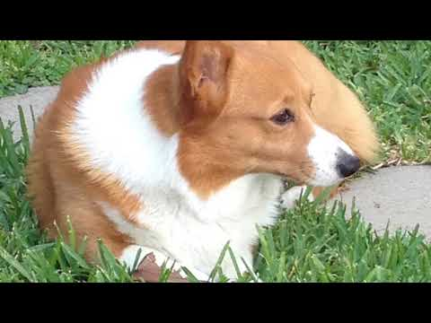 Darby, A Memorial Tribute to my Pembroke Welsh Corgi