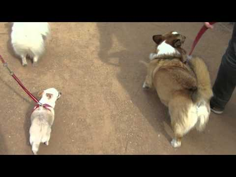 Million Paws Walk 2014 - Sheamus & Chihuahua