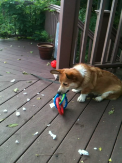 Hachi and new toy
