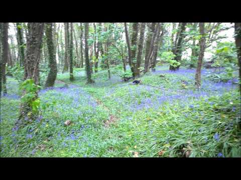 Cardigan Welsh Corgi running among the bluebells