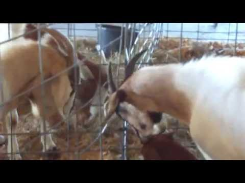 Love or War / Kissing or Biting Goats