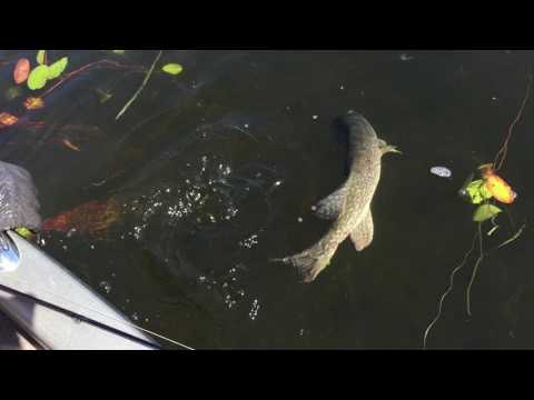 36 in pike release