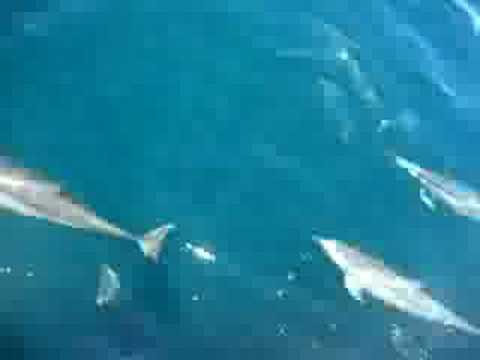 Largest Dolphin Pod Ever