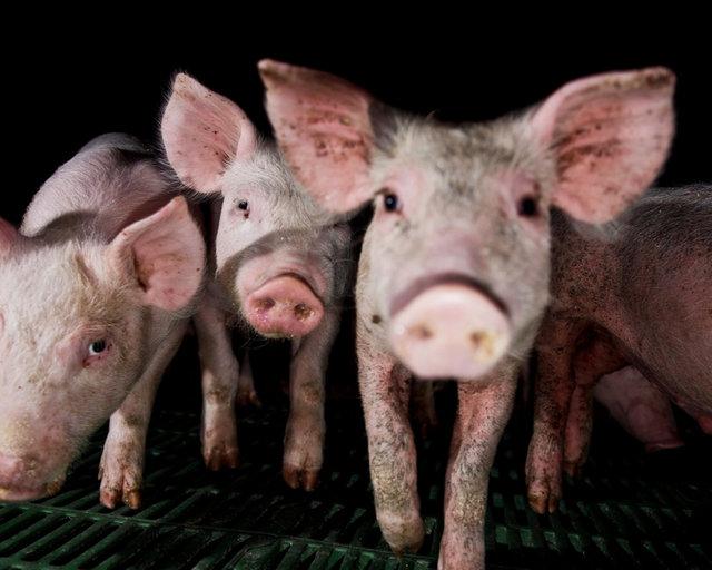 Pig Farms   An Animal Equality Documentary (English)