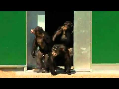Laboratory chimps caged for 30 years are finally released to a sanctuary.