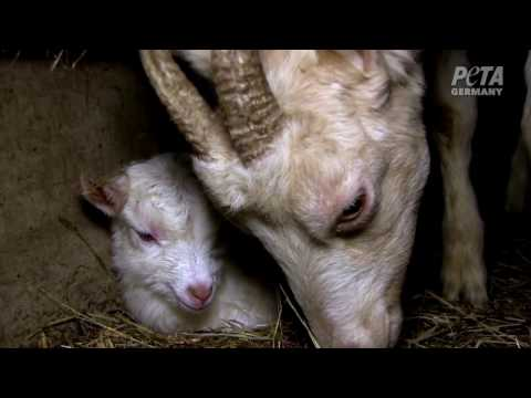 Goats Beaten for Organic Milk
