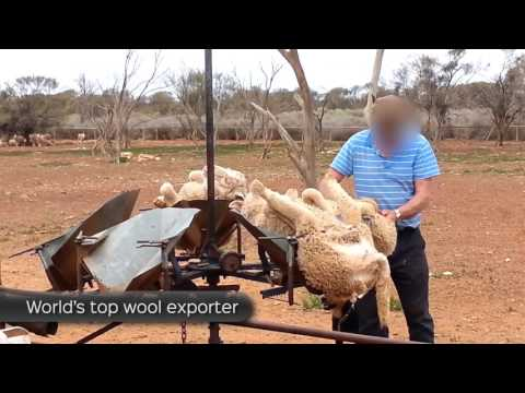 More Disturbing Cruelty for Wool