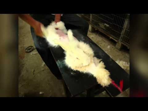 One Life in the Angora Wool Industry