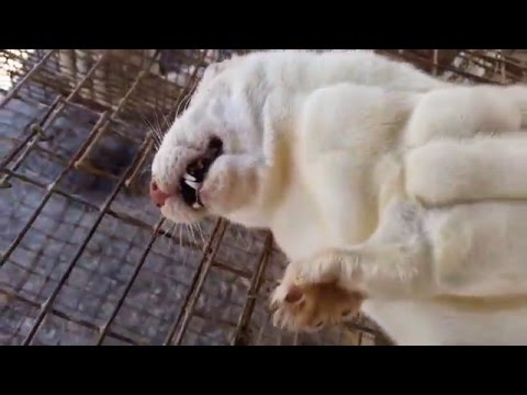 Caged, Tortured and Gassed – The Life of Minks and Foxes on a US Fur Farm