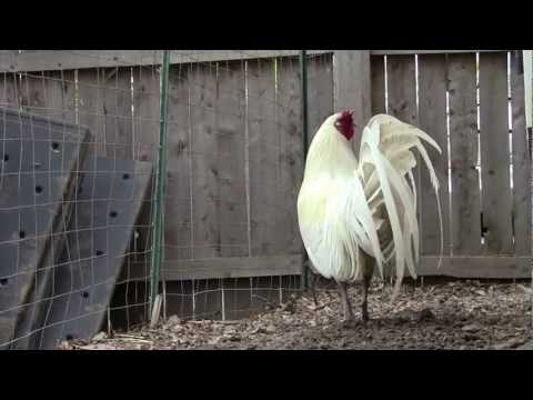 Rooster Appears in Backyard