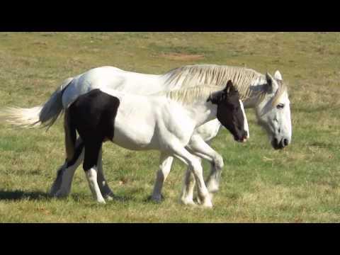 WILD CHARGING HORSES