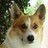 Shorty Welsh Corgi