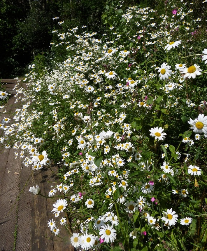 Oxeye daisies now dominate the flowers on the far bank above the pond, June 27th '19