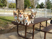 Huntington Beach Corgis Meeting (CA)