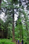 Douglas Fir, tallest tree in the country, over 60m tall