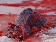 STOP THE SEAL HUNT!!! - SEAL PROTEST