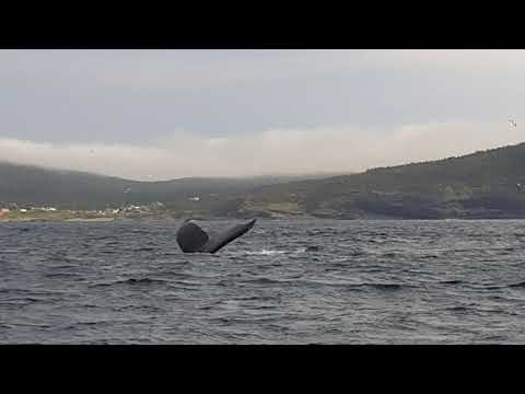 Whales Outside St. John's Harbor in Newfoundland Canada